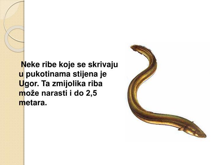 Neke ribe koje se skrivaju u pukotinama stijena je Ugor. Ta zmijolika riba može narasti i do 2,5 metara.