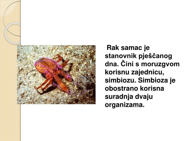 Rak samac je stanovnik pješčanog dna. Čini s moruzgvom korisnu zajednicu, simbiozu. Simbioza je obostrano korisna suradnja dvaju organizama.