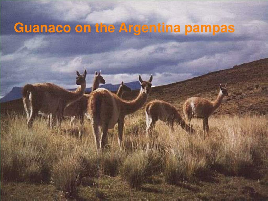 Guanaco on the Argentina pampas