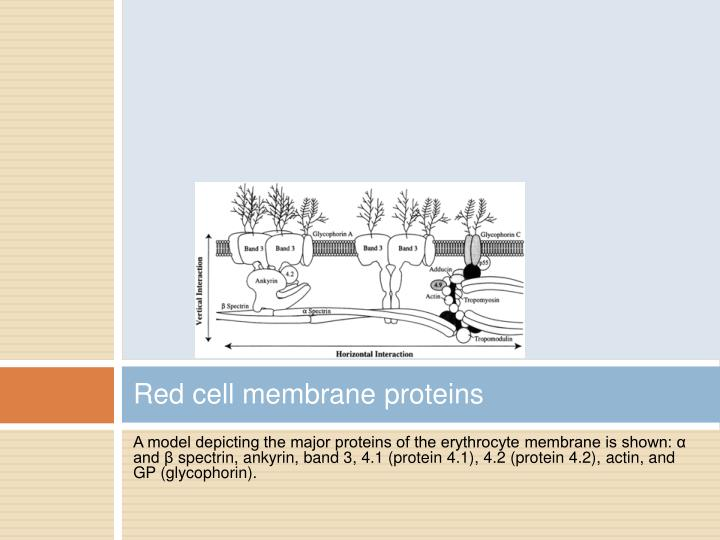 Red cell membrane proteins