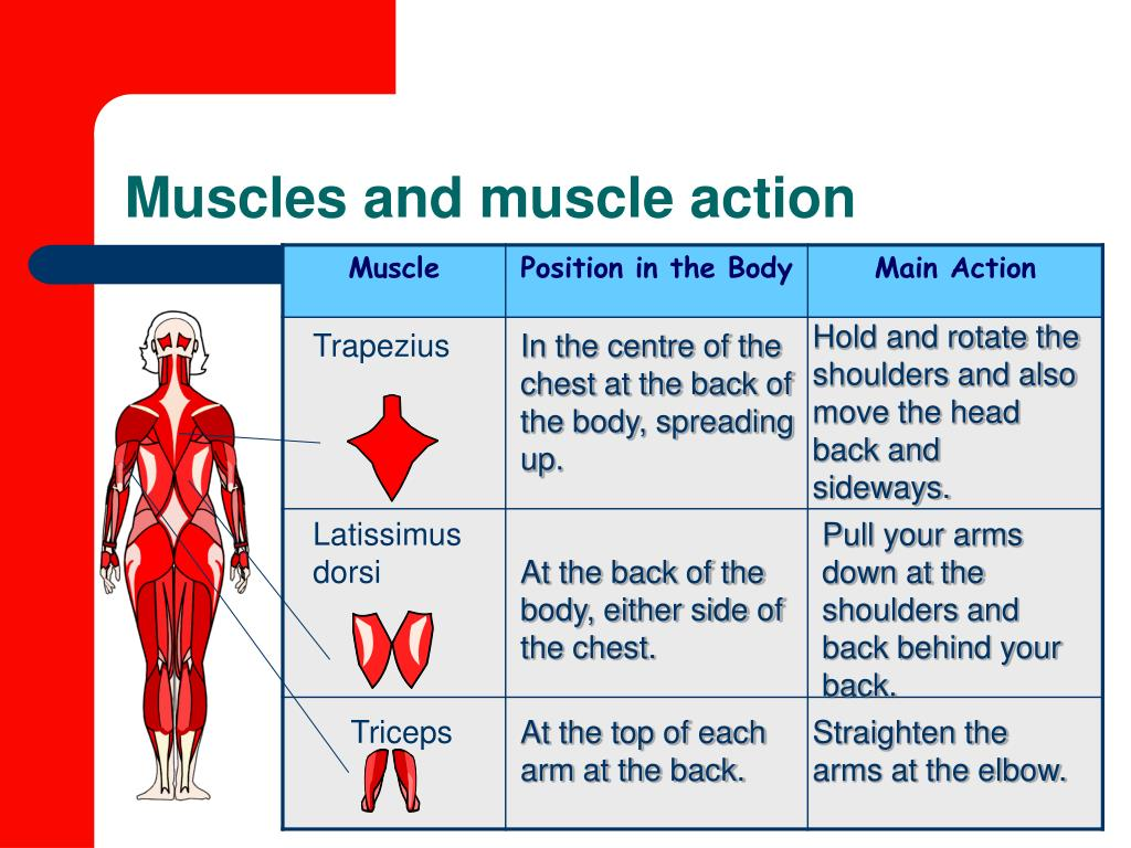 Muscles and muscle action