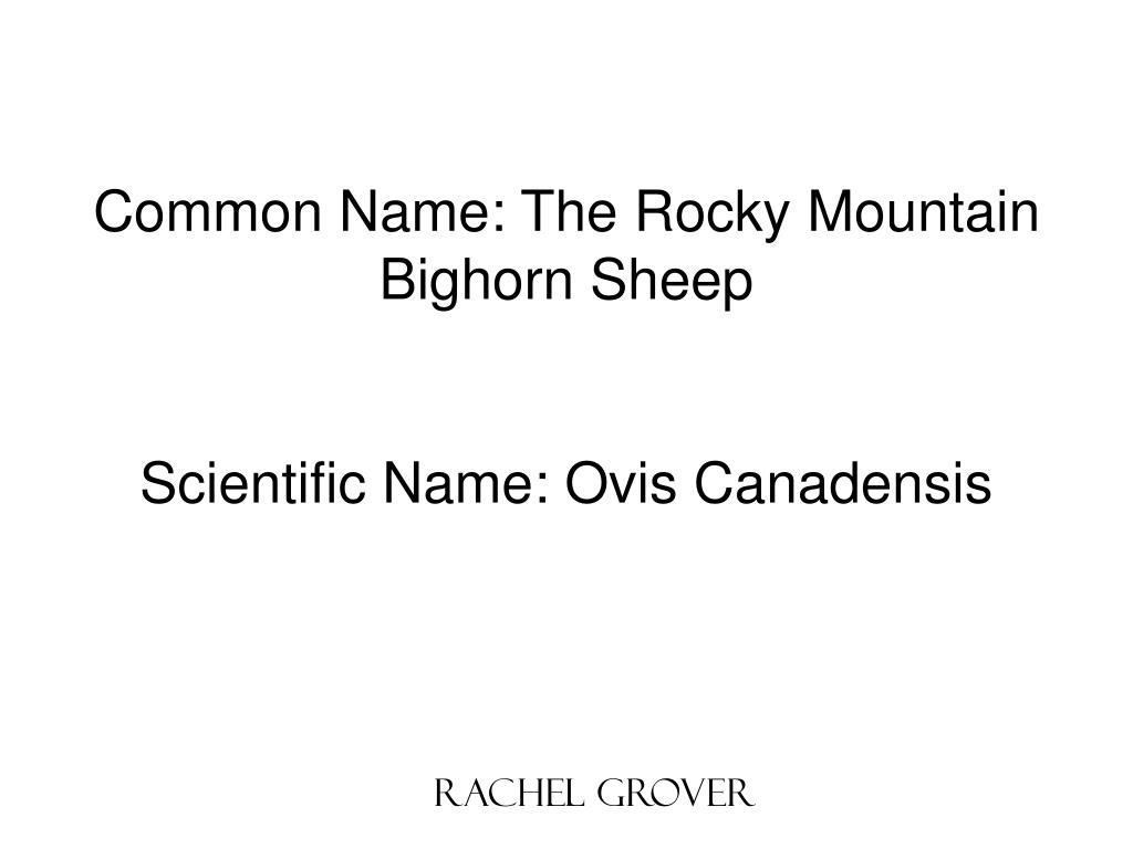 Common Name: The Rocky Mountain Bighorn Sheep