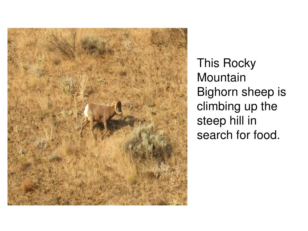 This Rocky Mountain Bighorn sheep is climbing up the steep hill in search for food.