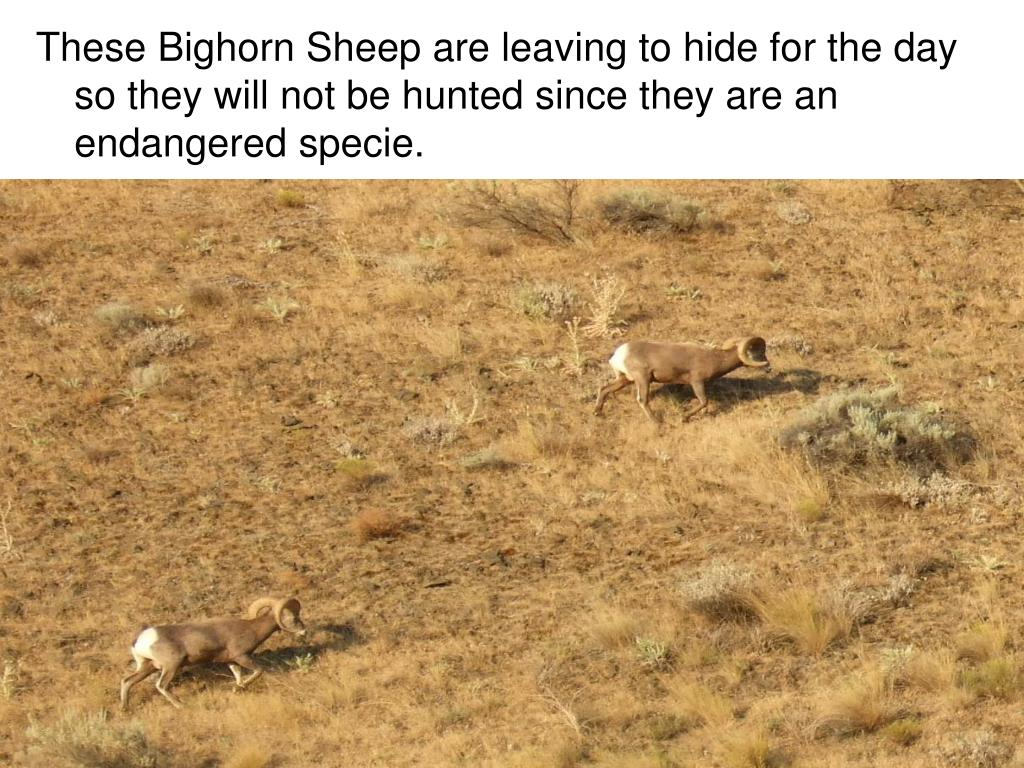 These Bighorn Sheep are leaving to hide for the day so they will not be hunted since they are an endangered specie.