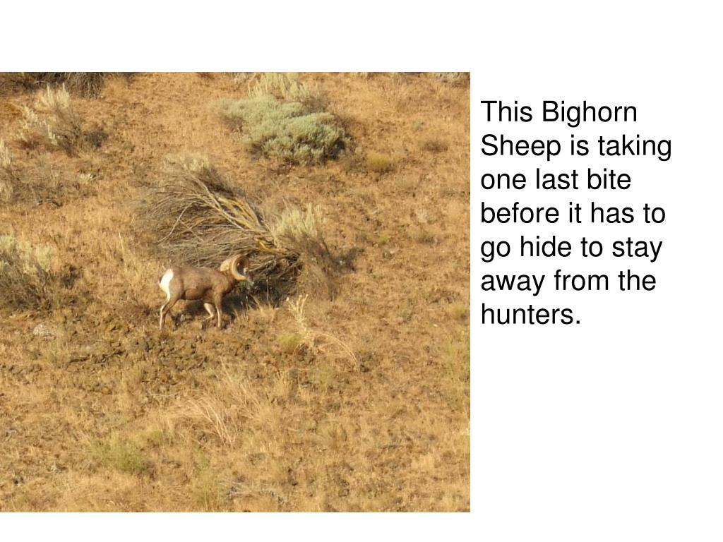 This Bighorn Sheep is taking one last bite before it has to go hide to stay away from the hunters.