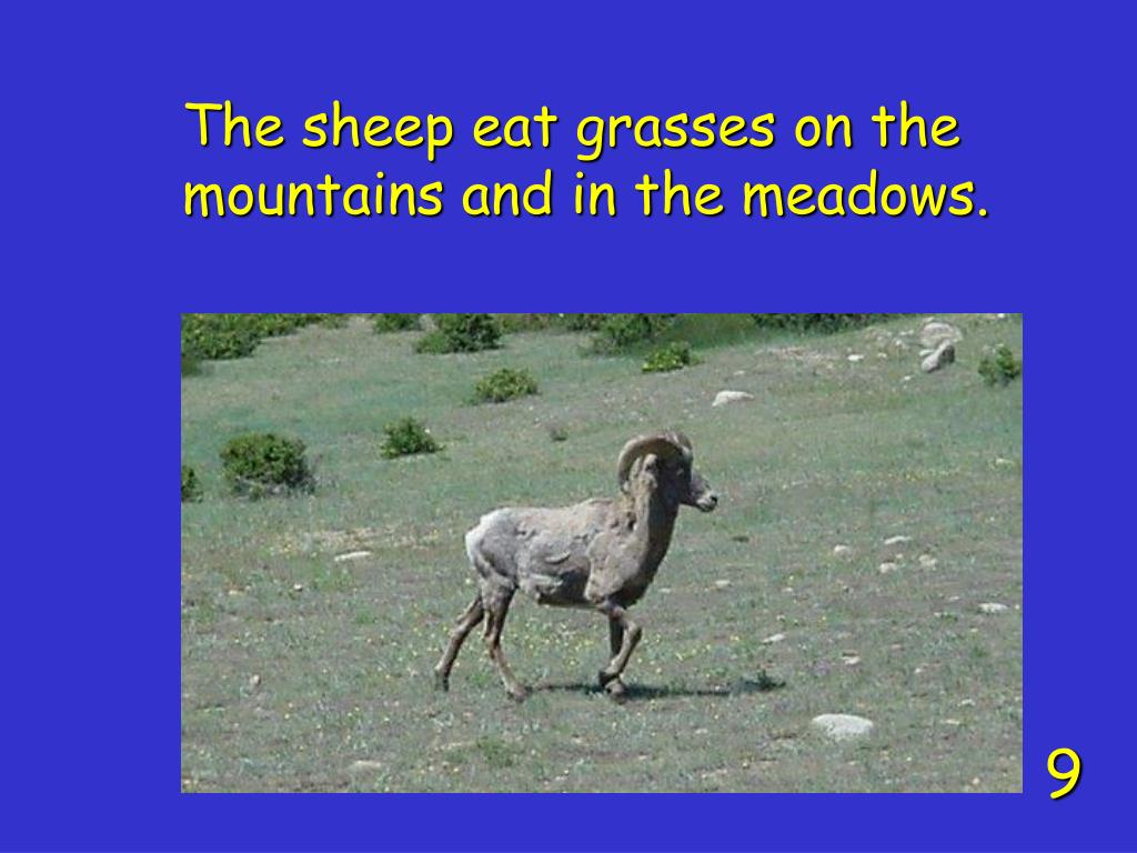 The sheep eat grasses on the mountains and in the meadows.