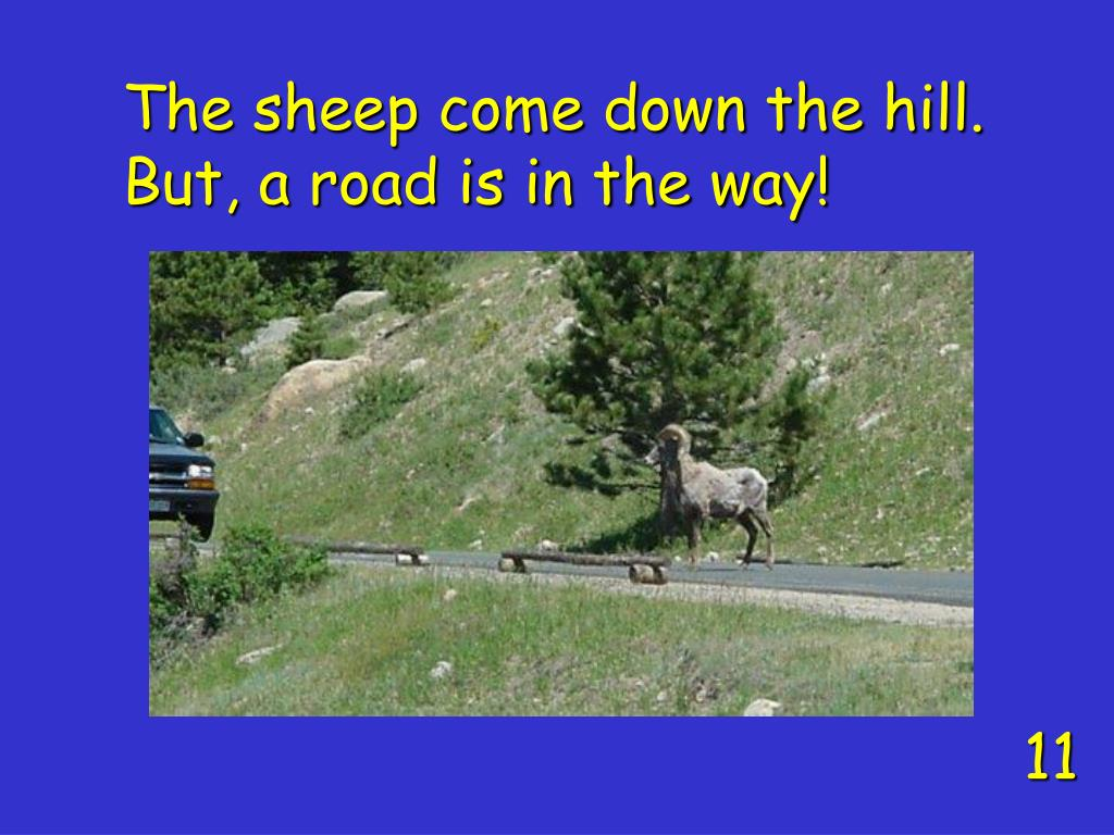 The sheep come down the hill.  But, a road is in the way!