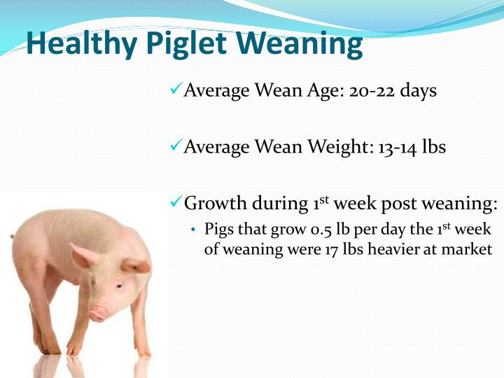 Healthy piglet weaning