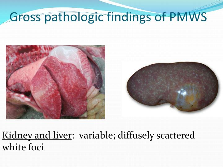 Gross pathologic findings of PMWS