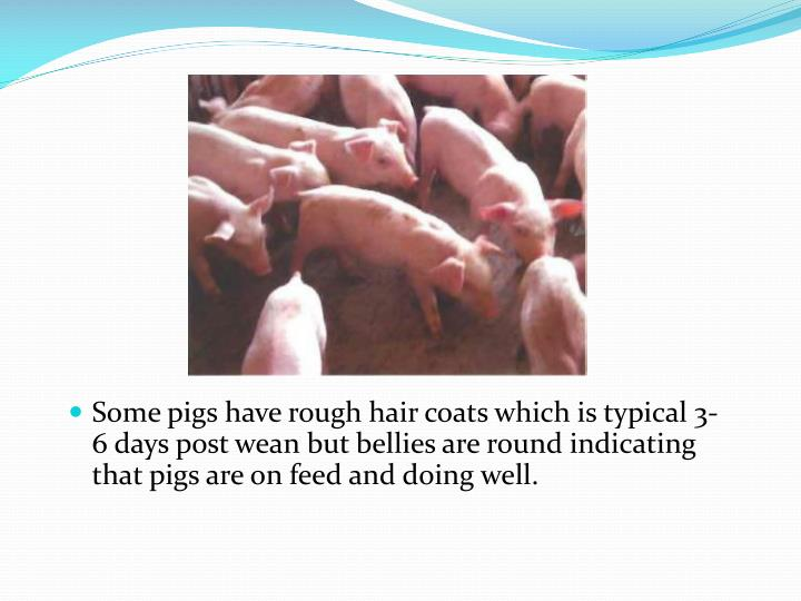 Some pigs have rough hair coats which is typical 3-6 days post wean but bellies are round indicating that pigs are on feed and doing well.