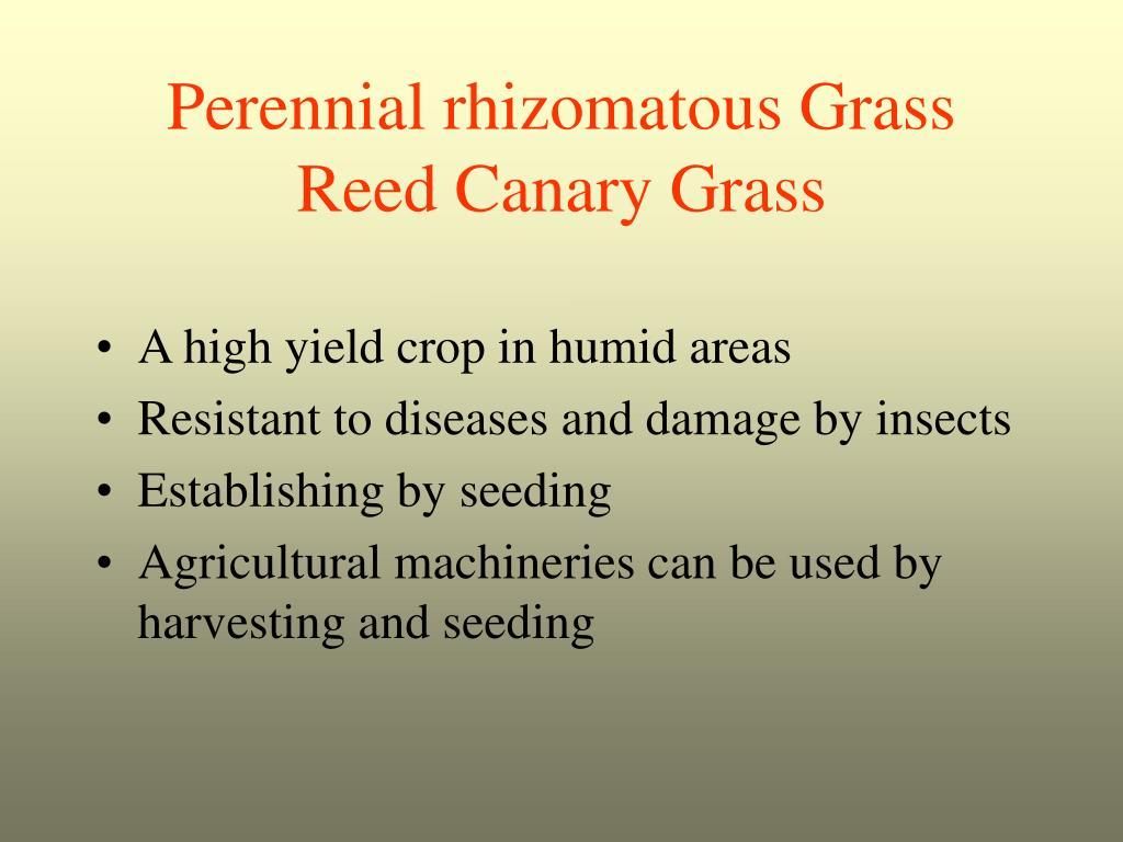 Perennial rhizomatous Grass
