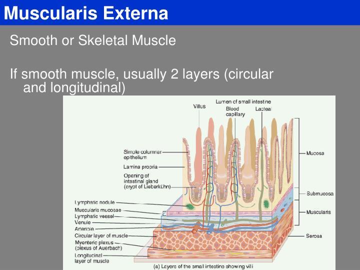 Muscularis Externa