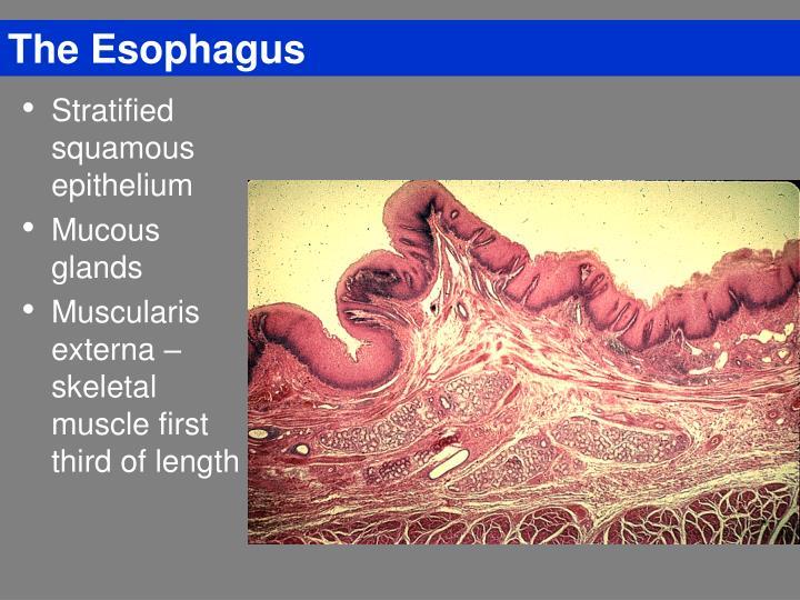 The Esophagus