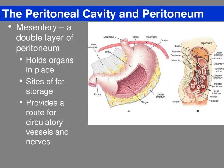 The Peritoneal Cavity and Peritoneum