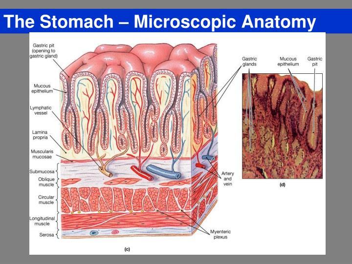 The Stomach – Microscopic Anatomy