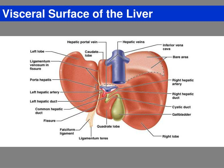 Visceral Surface of the Liver