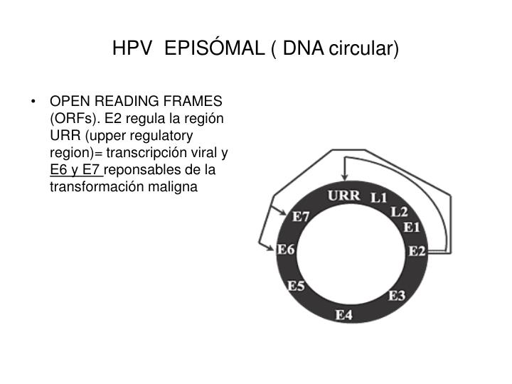HPV  EPISÓMAL ( DNA circular)