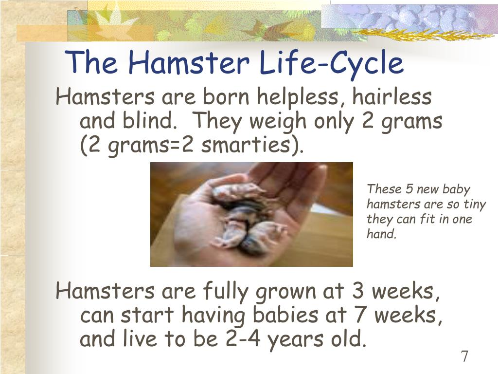 The Hamster Life-Cycle