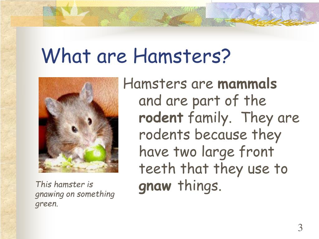 What are Hamsters?