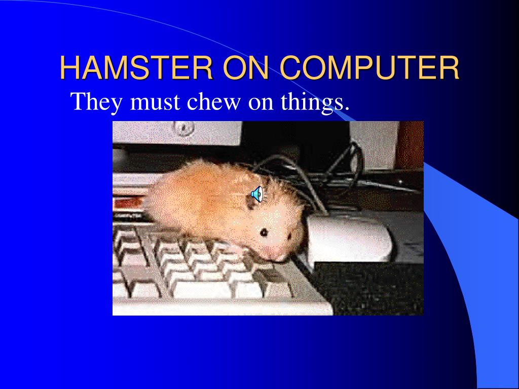 HAMSTER ON COMPUTER