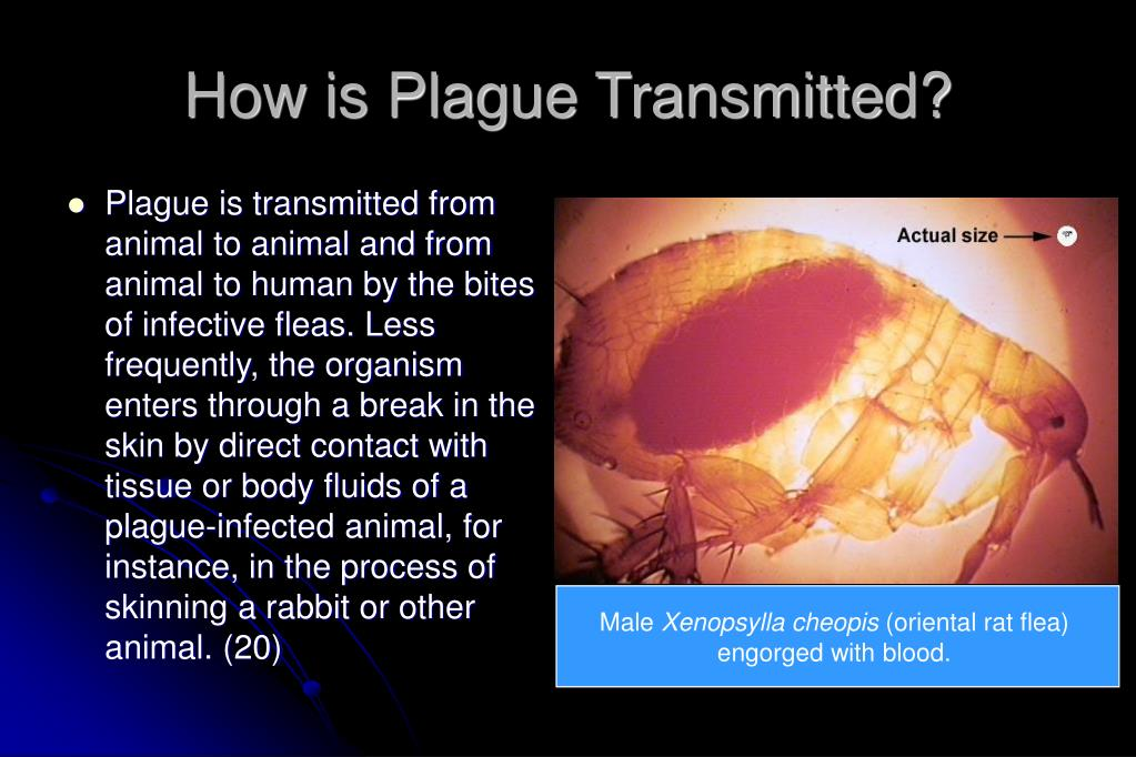 How is Plague Transmitted?