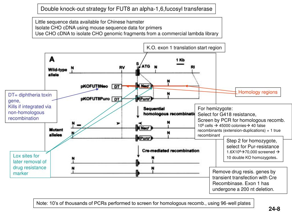 Double knock-out strategy for FUT8 an alpha-1,6,fucosyl transferase