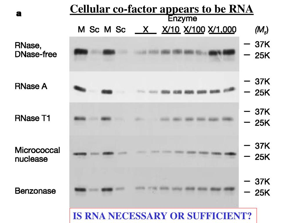 Cellular co-factor appears to be RNA