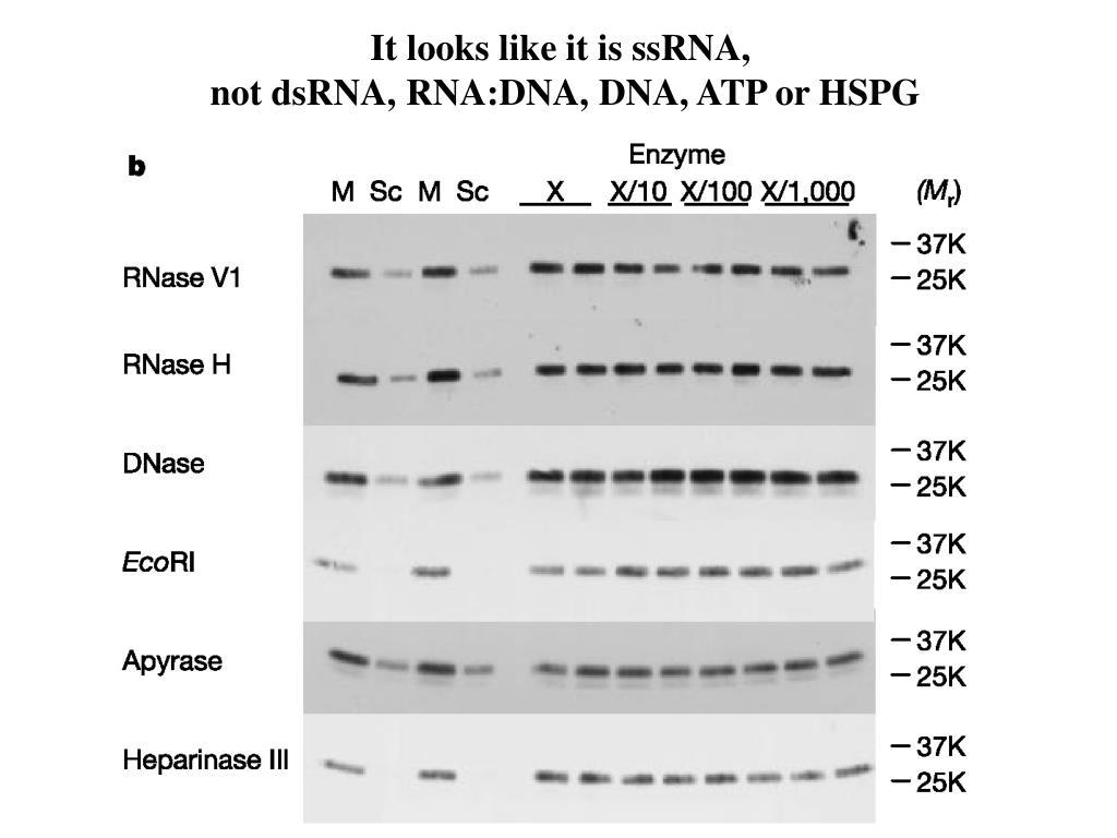 It looks like it is ssRNA,