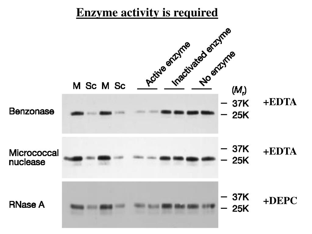 Enzyme activity is required