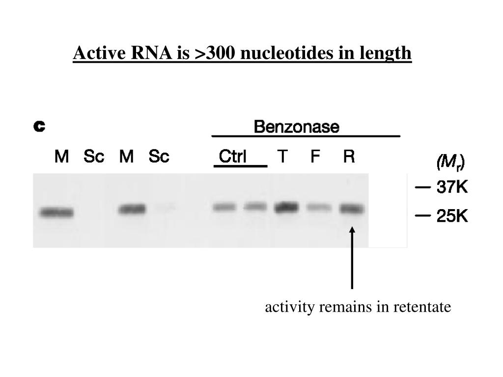 Active RNA is >300 nucleotides in length