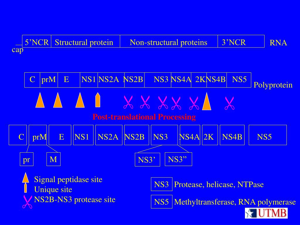5'NCRStructural protein        Non-structural proteins       3'NCR