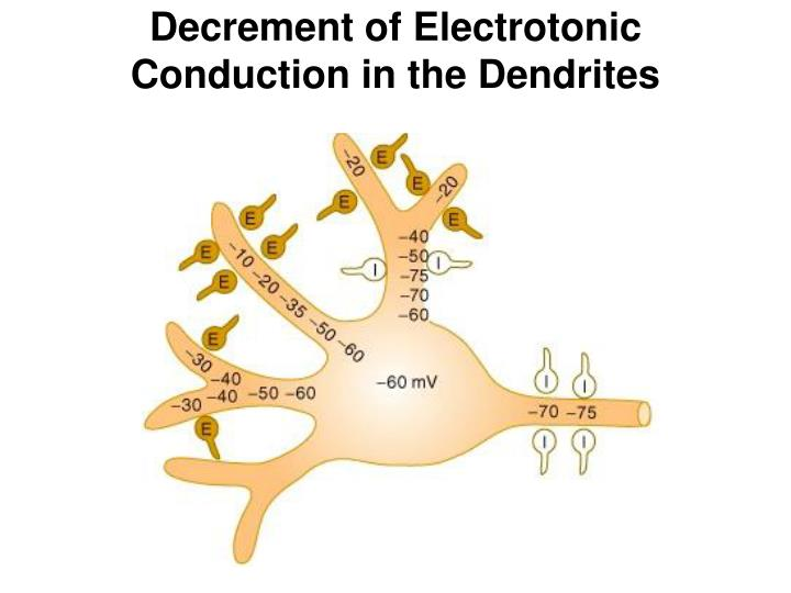 Decrement of Electrotonic Conduction in the Dendrites