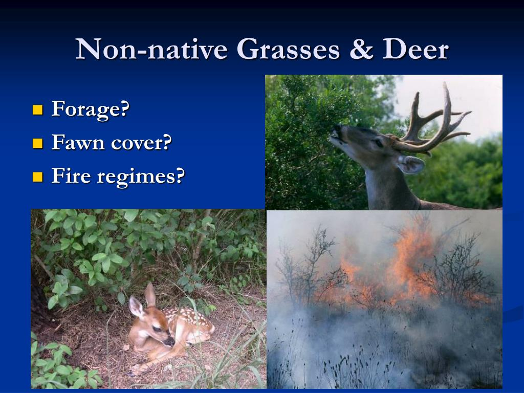 Non-native Grasses & Deer