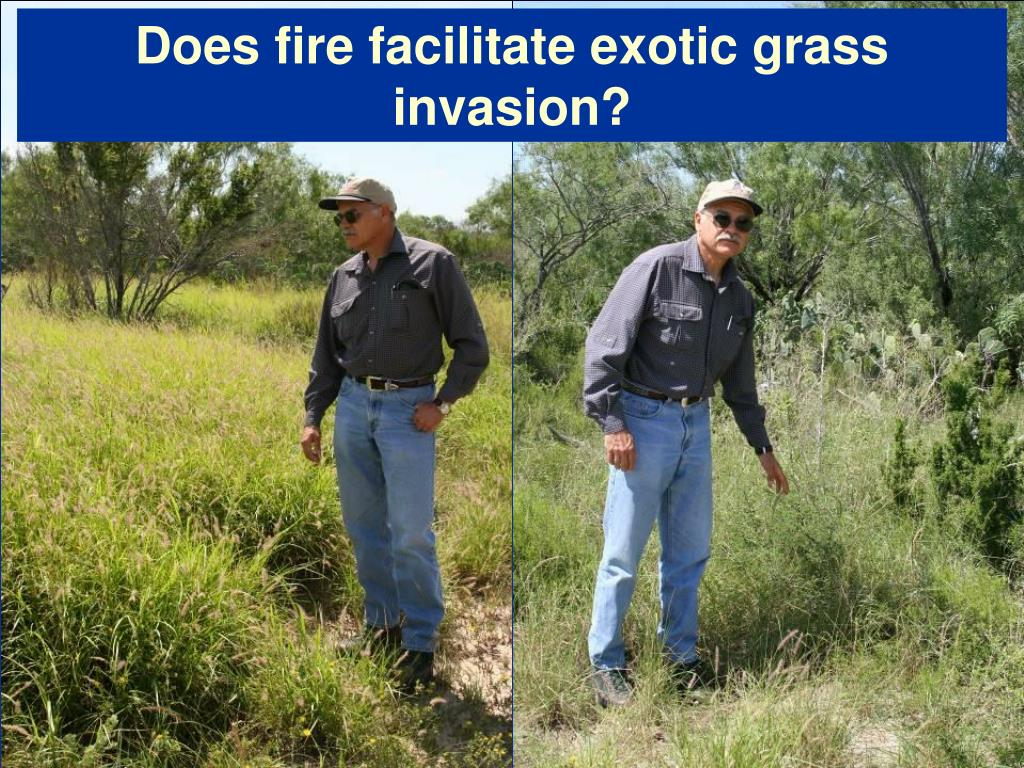 Does fire facilitate exotic grass invasion?
