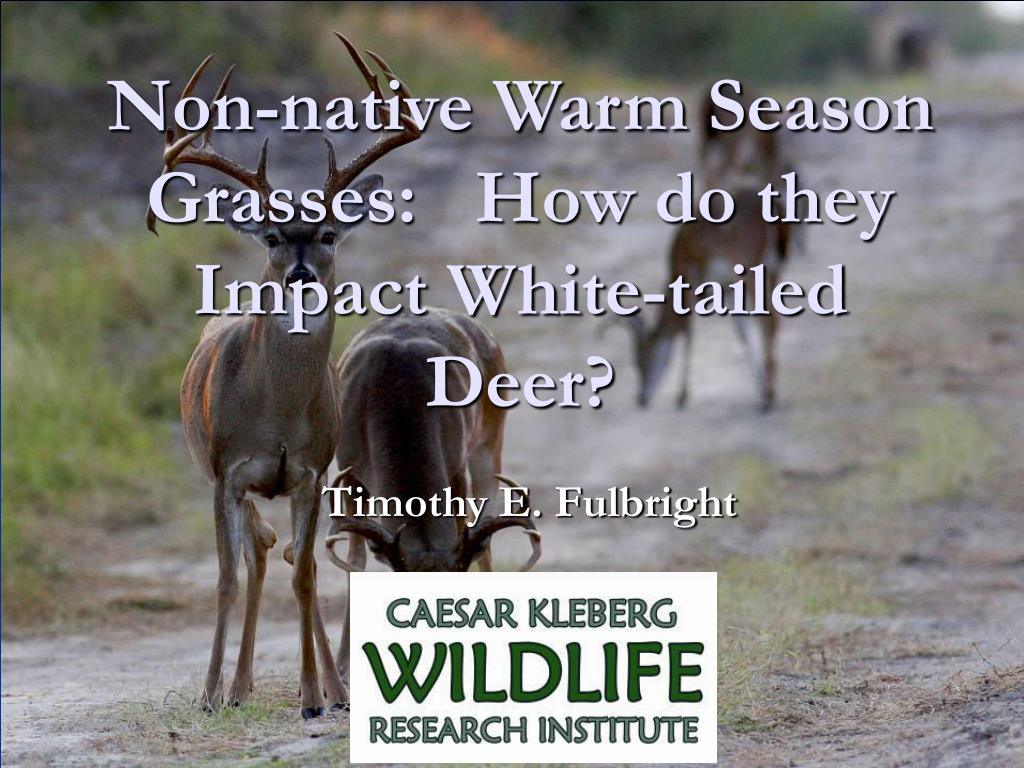 Non-native Warm Season Grasses:   How do they Impact White-tailed Deer?
