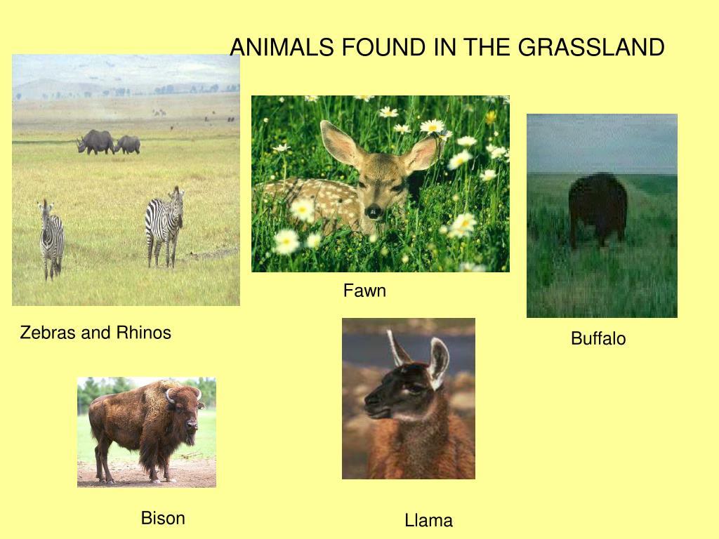 ANIMALS FOUND IN THE GRASSLAND