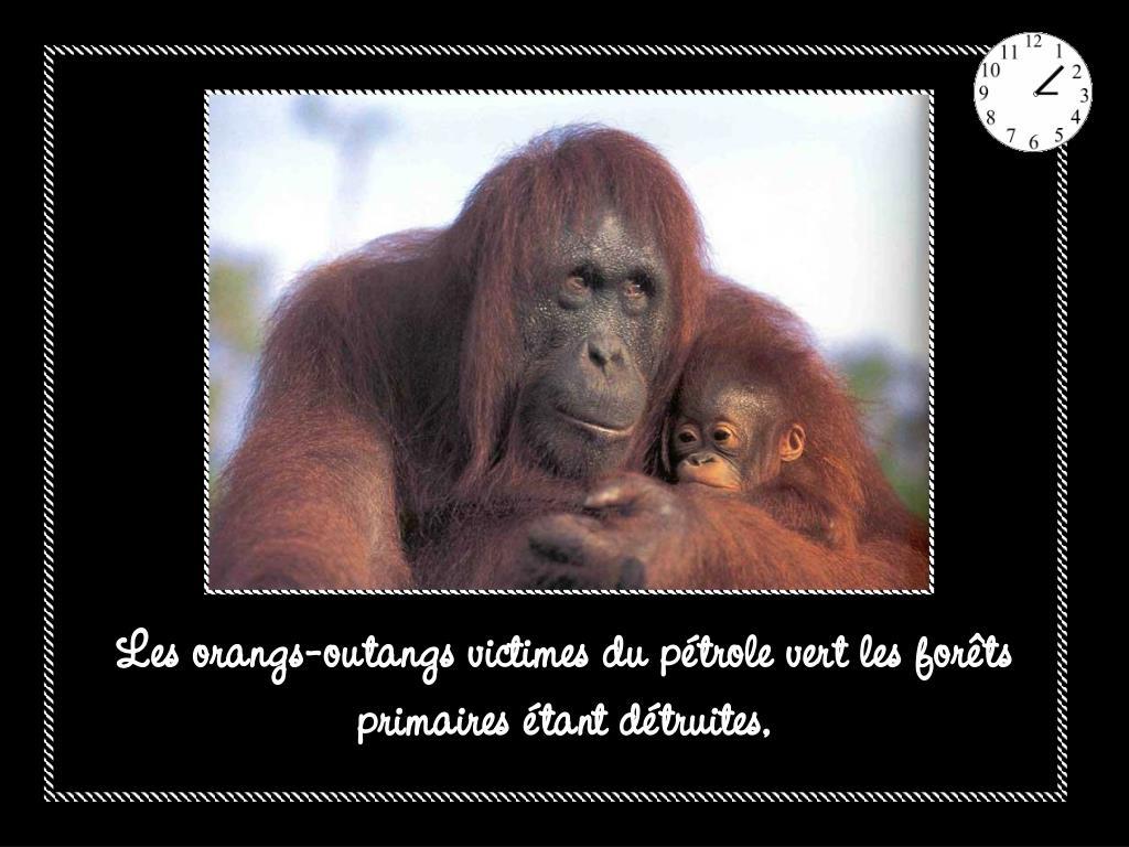 Les orangs-outangs victimes du pétrole vert les forêts primaires étant détruites,