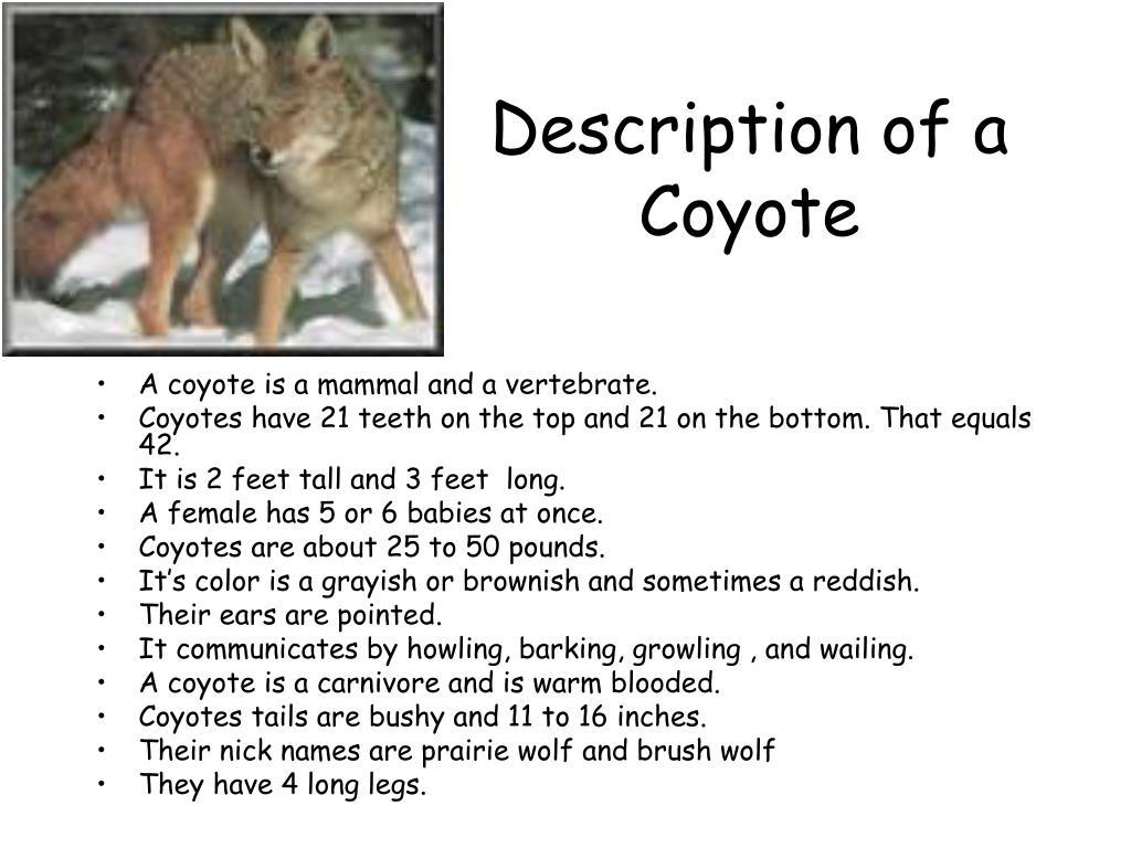 Description of a Coyote