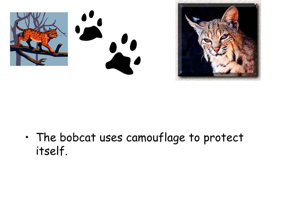 The bobcat uses camouflage to protect itself.
