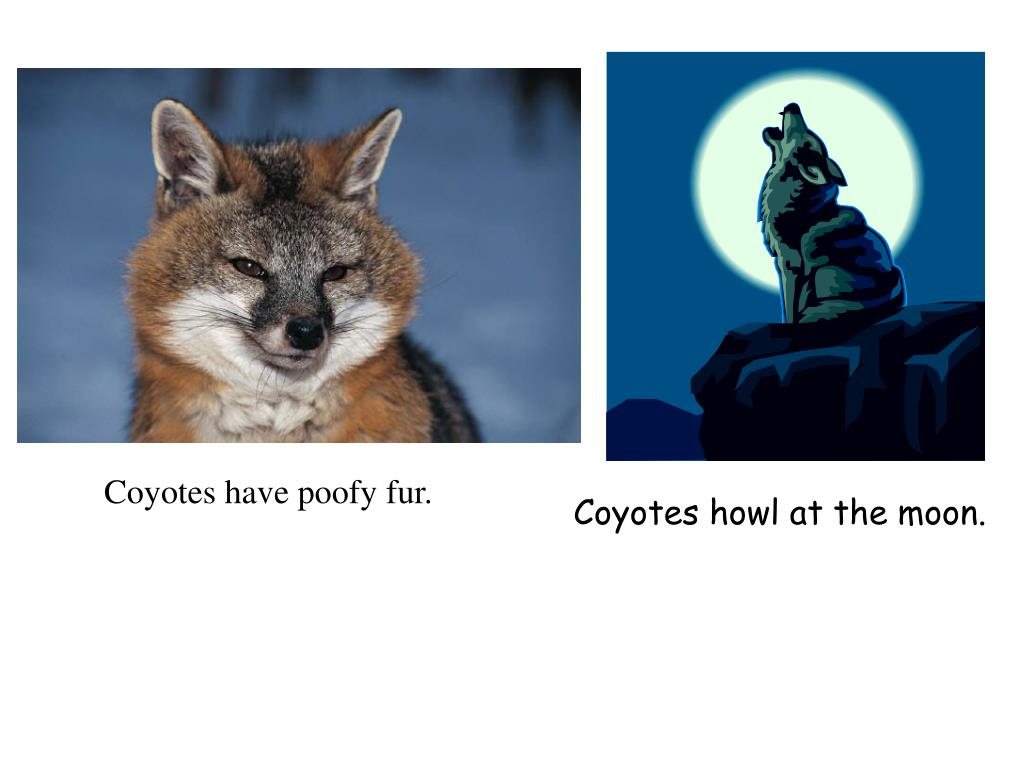Coyotes howl at the moon.