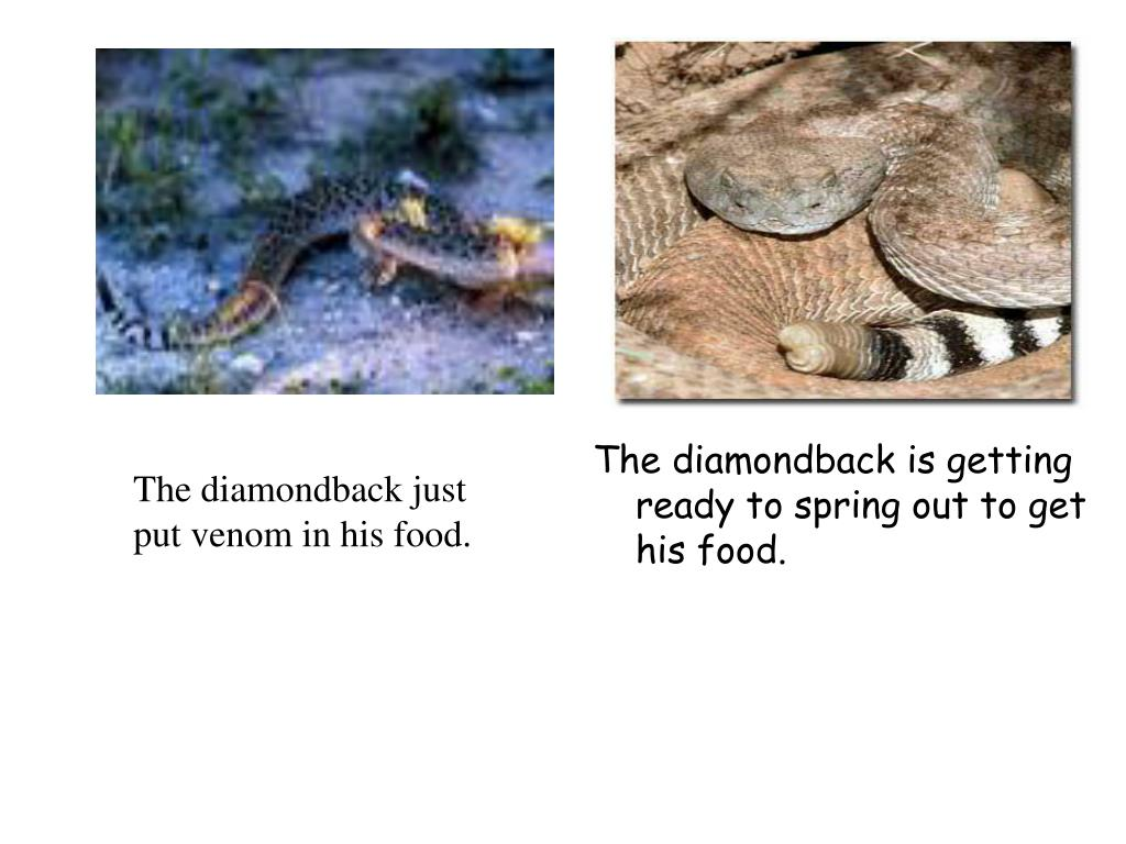 The diamondback is getting ready to spring out to get his food.