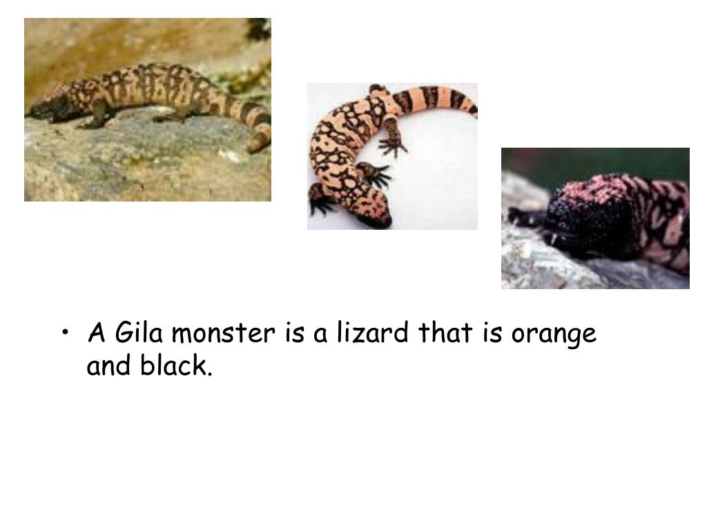 A Gila monster is a lizard that is orange and black.