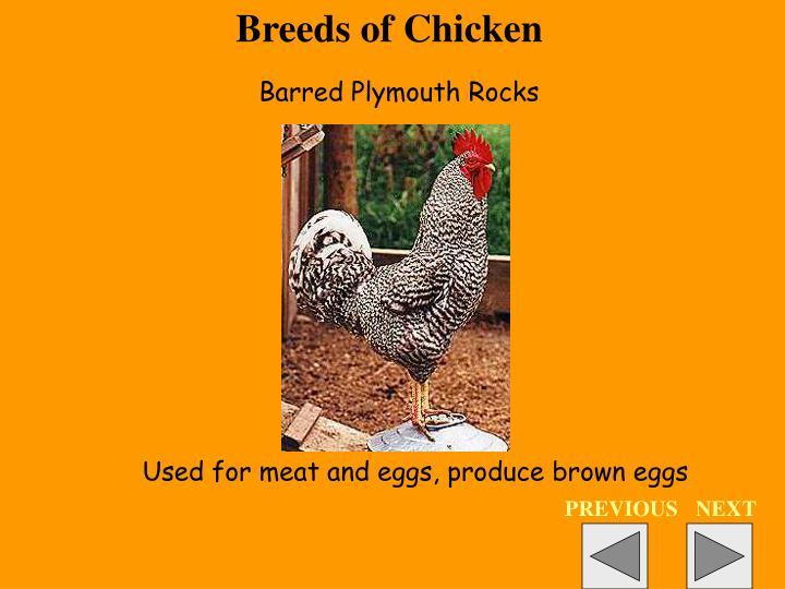 Breeds of Chicken