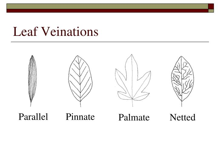 Leaf Veinations