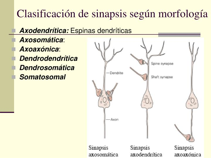 Clasificación de sinapsis según morfología