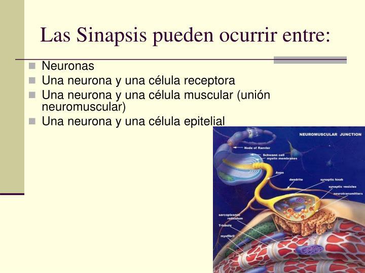 Las Sinapsis pueden ocurrir entre: