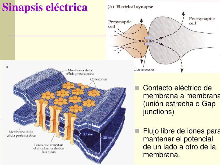 Sinapsis eléctrica
