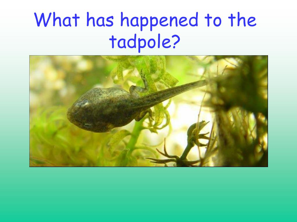 What has happened to the tadpole?