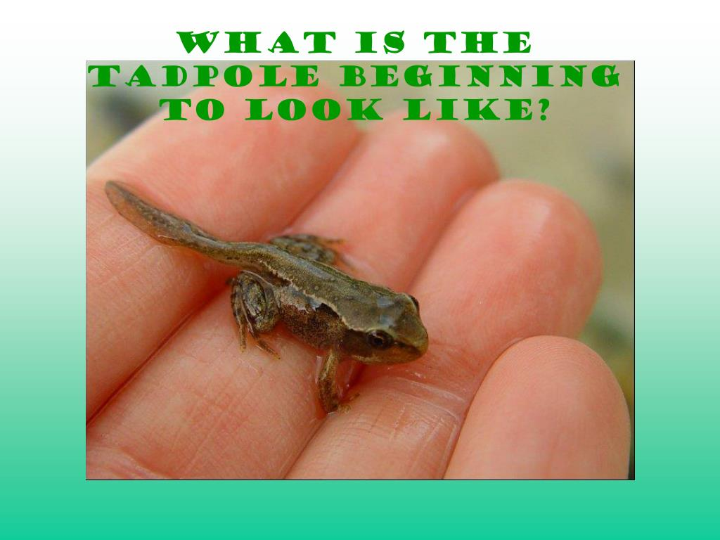 What is the tadpole beginning to look like?