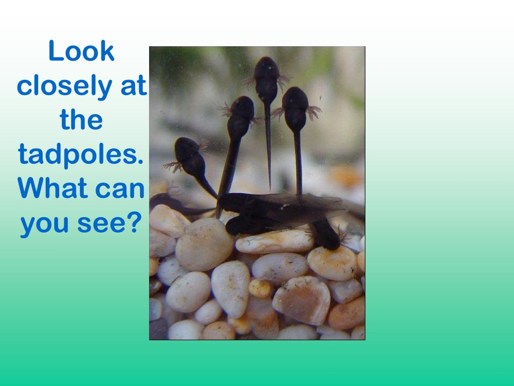 Look closely at the tadpoles.What can you see?